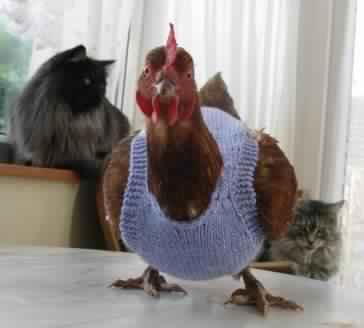 poule 8
