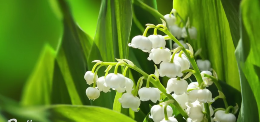 L 39 art du kokedama qu 39 est ce que c 39 est et comment le - Comment planter du muguet ...