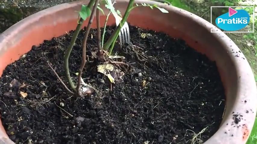 Elle vous montre comment faire un engrais naturel et for Autobronzant naturel fait maison