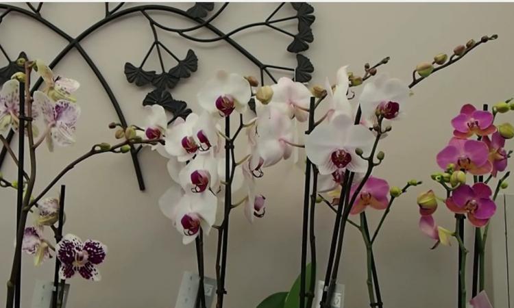 Elle vous montre 10 secrets pour faire refleurir une orchidée fanée!