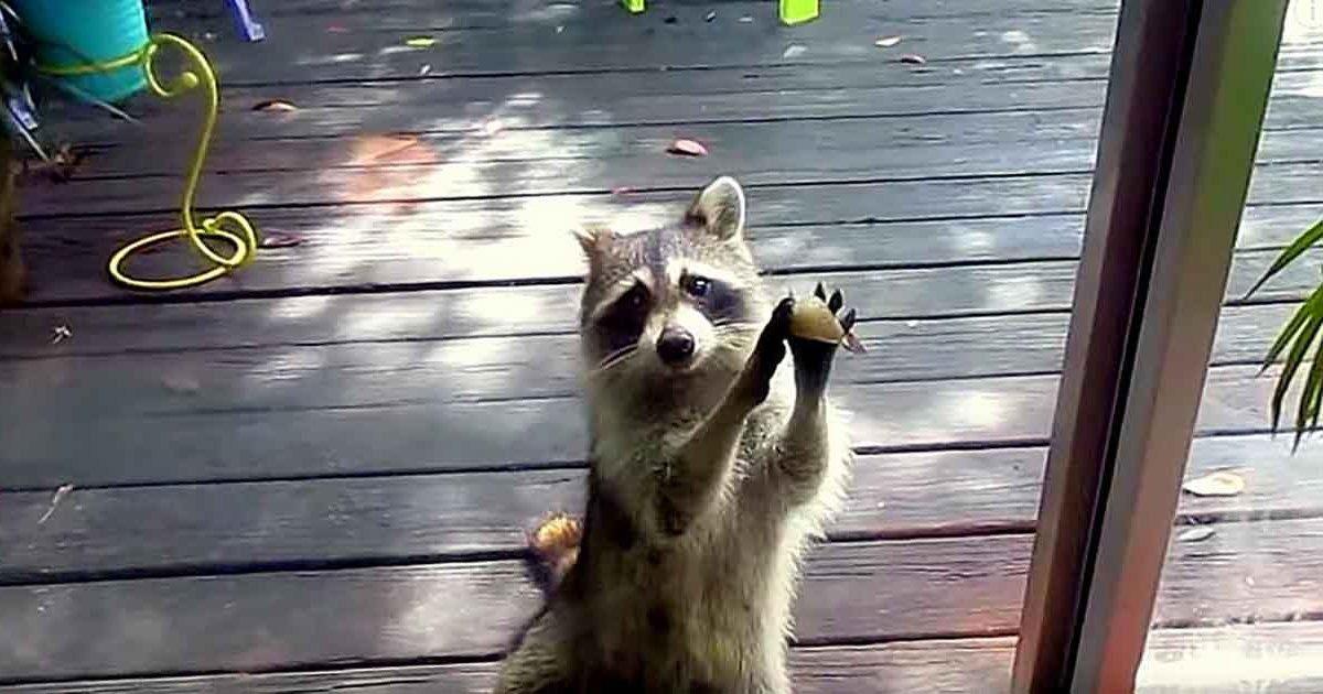 Ce raton laveur frappe à la porte de cette femme tous les jours et demande de la nourriture pour sa famille