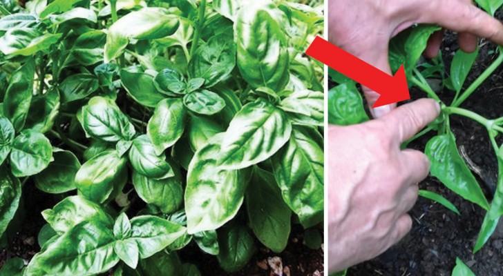 Ce jardinier vous montre comment faire pousser et entretenir du basilic c 39 est fait maison - Comment faire pousser du basilic ...