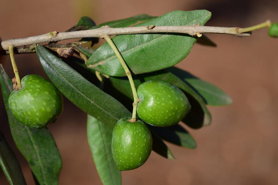 La feuille d'olivier : un antibiotique naturel que personne ne connait