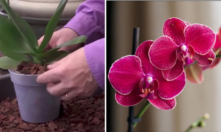 Cet expert du jardinage vous montre comment bien rempoter - Quand rempoter une orchidee ...