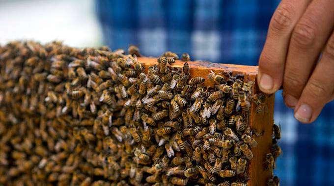 Cuba : sans pesticides, des abeilles en pleine forme !