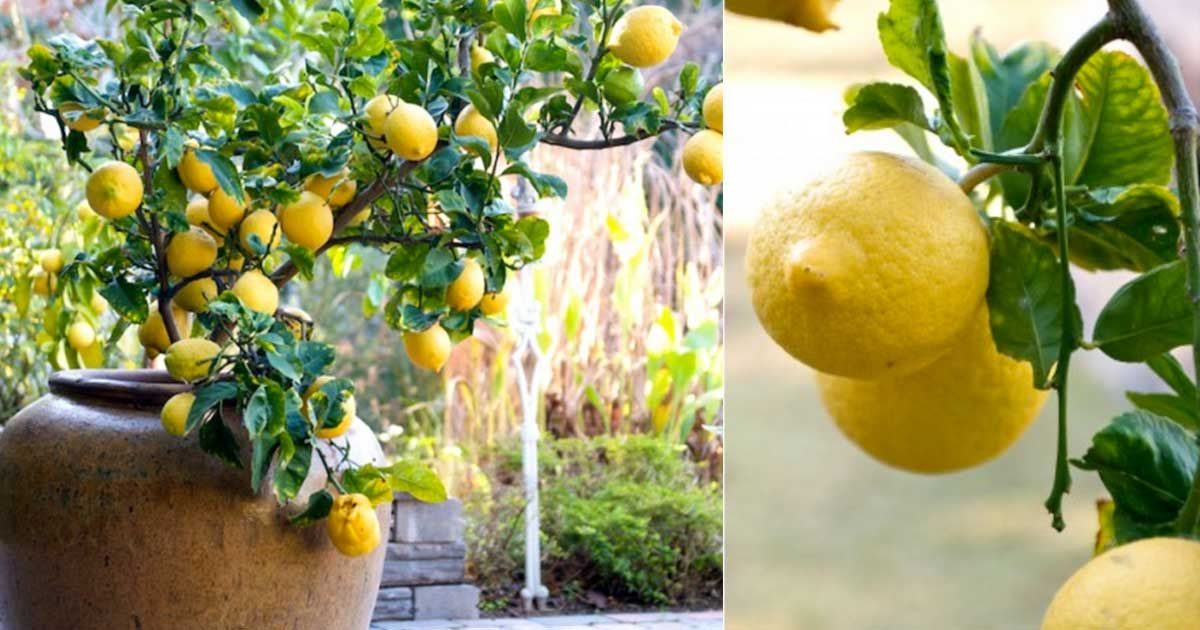comment faire pousser facilement un citronnier chez vous c 39 est fait maison. Black Bedroom Furniture Sets. Home Design Ideas